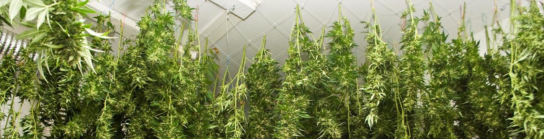 marijuana drying