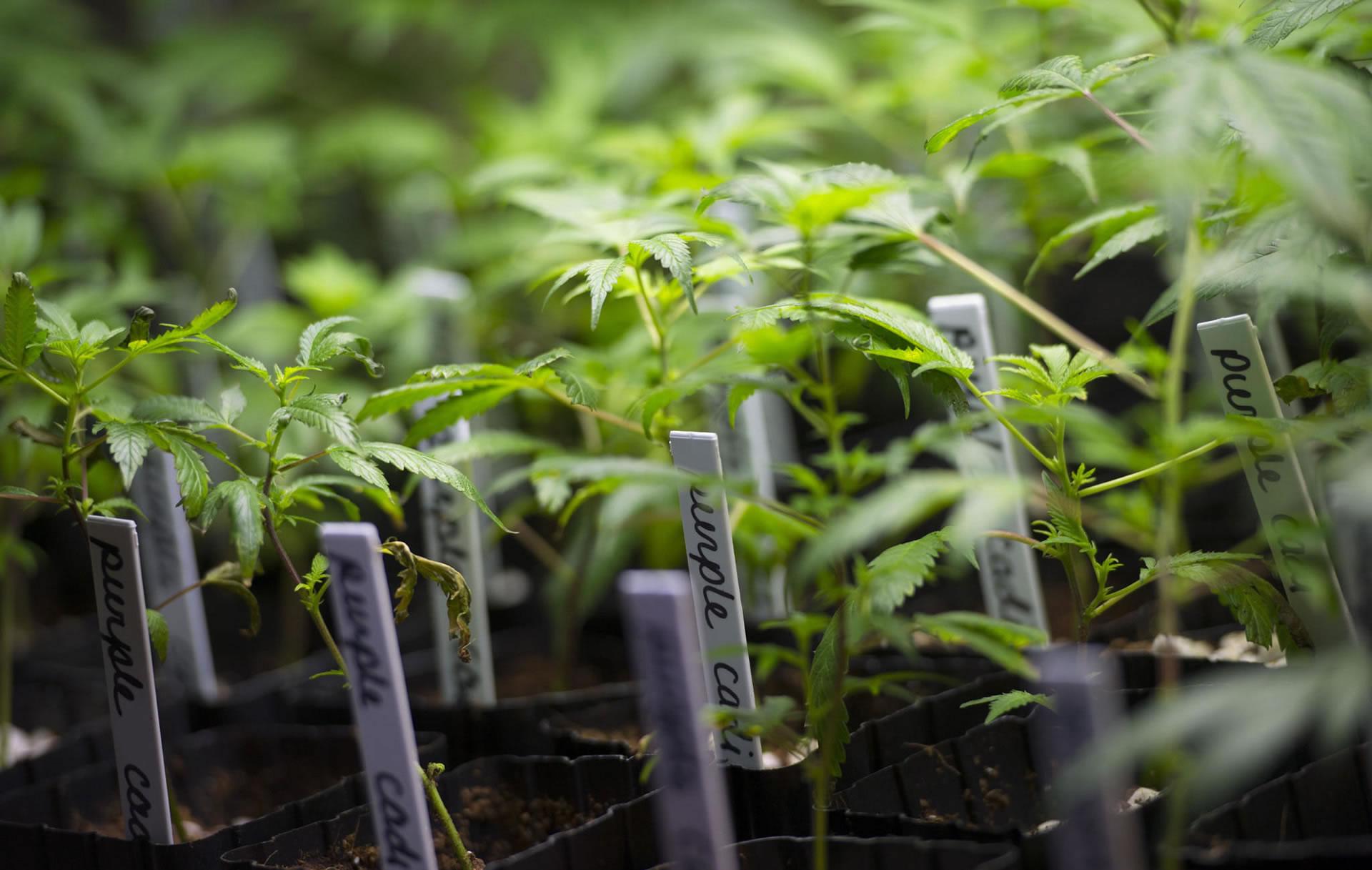 cloning plants Como fazer clones de plantas clonar plantas é um processo simples que permite reproduzir um determinado espécime de vegetal com o plantio de um segmento.