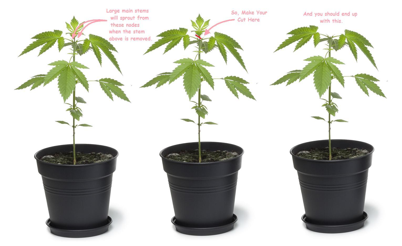 Сроки роста конопли культивация конопли советы