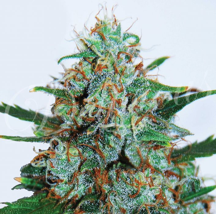 Critical Neville Haze Auto Feminized Seeds
