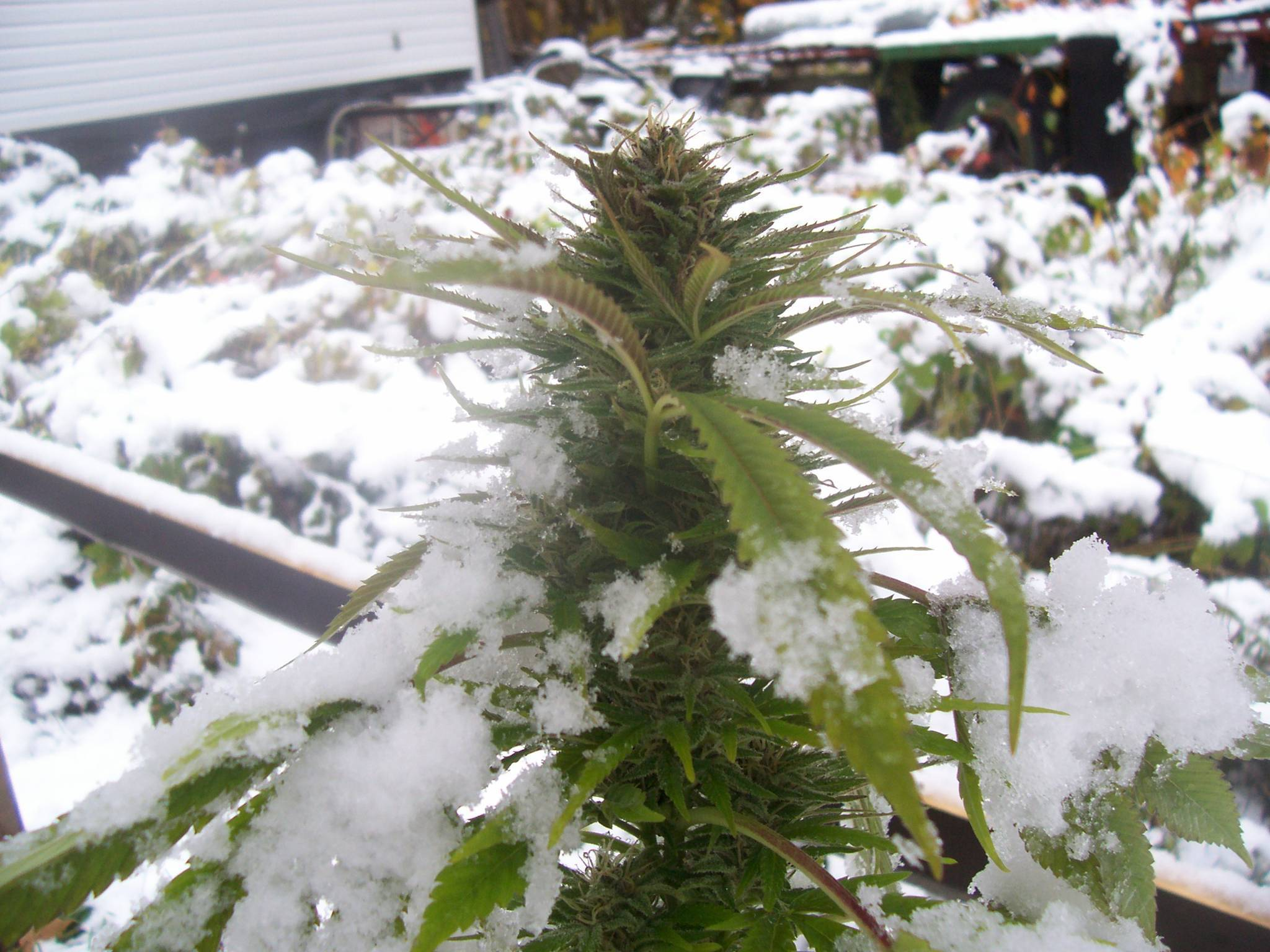 The Best 10 Weed Strains for Cold Environments