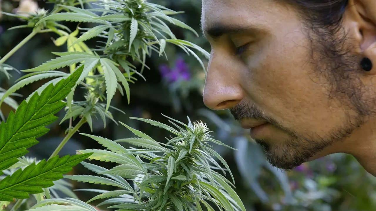 Tips On How To Hide The Smell Of Weed How To Grow Weed