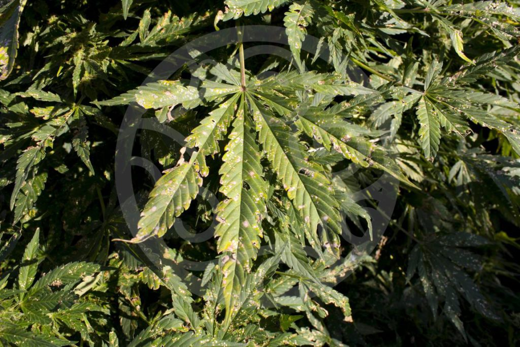 Prevent Pests in Cannabis Garden