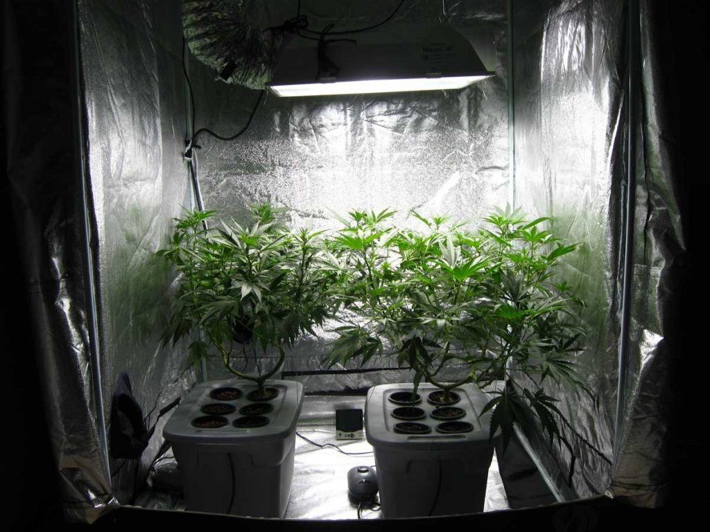 indoor marijuana seeds strains